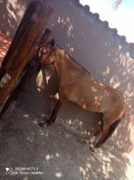 Título do anúncio: Vendo cavalo castrado