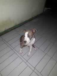 Pitbull American Staffordshire (Filhote)