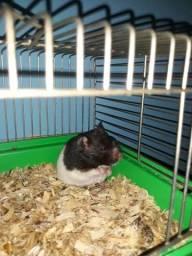 Hamster sírio  vou fazer 15 pila