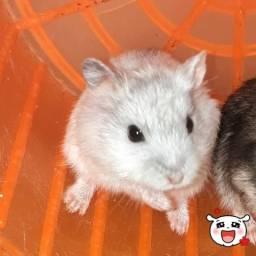 Hamster Anão Russo (FILHOTE)