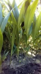 Mudas de coqueiro anão verde