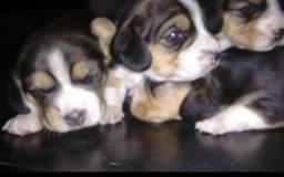 Vende - se filhotes de Beagle