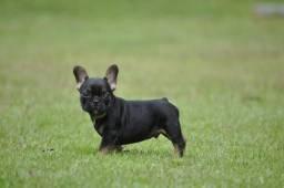 Black And Tan Macho filhote de bulldog francês - Linhagem importada