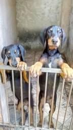 Vende-se casal de filhote de Doberman Puro