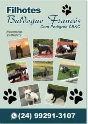 Filhotes de Buldogue Francês
