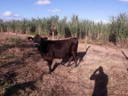Vendo Vaca Jersey