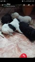 Cachorrinho poodle fêmea