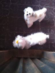 Vendo cachorros da raça yasa apsio
