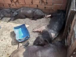 Porcos e leitões