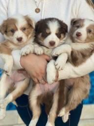 Título do anúncio: Border collie com pedigree disponível