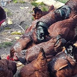 Rhode Island Red - Ovos galados de Raça pura - Galo Vermelho