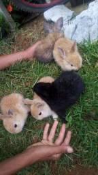 Mini coelhos mini Lion Head