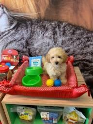 Título do anúncio: Adquira um bebê poodle e GANHE UM KIT FILHOTE