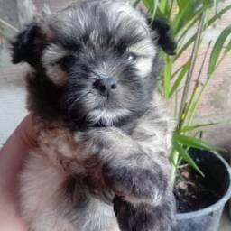 Vendo um cachorro Lhasa macho pó 1.200