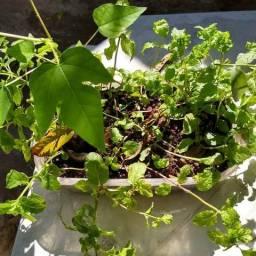 Mudas plantas medicinais