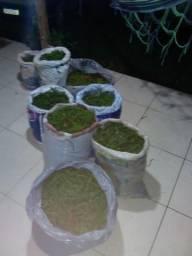 Vendo pimenta do reino