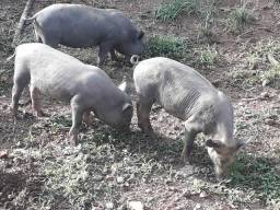 Leitão uma porca gorda tabem