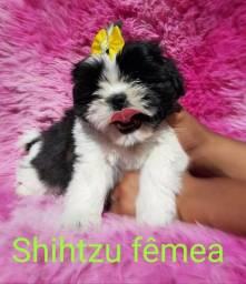 Linda fêmea de shihtzu com garantia