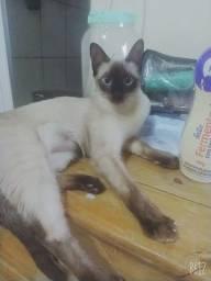 Gato siamês (fêmea) IPATINGA-MG