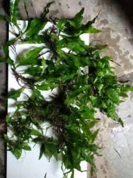 Vendo ou troco plantas aquática lowtech