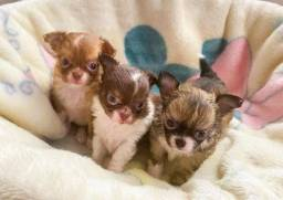 Título do anúncio: Chihuahuas lindos