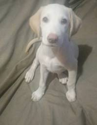 Filhote Labrador Macho Lindo