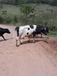 Título do anúncio: Vacas em lactação