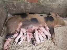 Título do anúncio: Porco filhote Aparti de 300 tenho todos os tamanhos