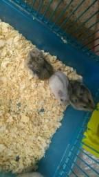 Hamster anão russo/Chinês e Gaiolas