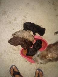 Vendo filhotes de poodle