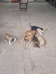 Estou doando esses lindos cães para quem quer e cuida mestiço grandes
