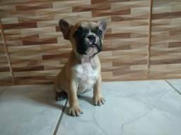 Linda filhote Bulldog francês fêmea