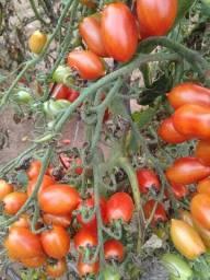 Tomate cereja uva