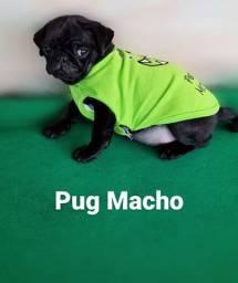 Pug Macho preto 1 dose vacina importada vermifulgada