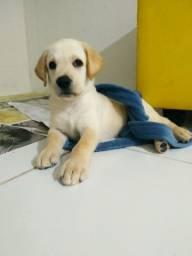 Labrador Retriever Fêmea - Vacinada e pronta para passeio