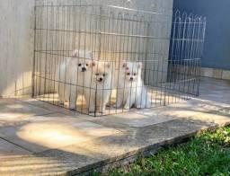 Lindos filhotes de Spitz alemão anão top 75 dias