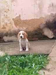 Título do anúncio: Beagle Macho Puro.