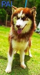 Título do anúncio: Husky Siberiano filhotes wolly e padrão *