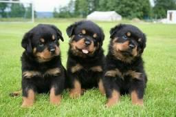 Filhotes de Rottweiler macho e fêmea lindos