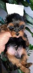 Título do anúncio: Vendo lindos bebês yorkshire,sou de Ipatinga