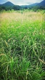 Título do anúncio: SEMENTES CAPIM BUFFEL ARIDUS GRASS E BILOELA