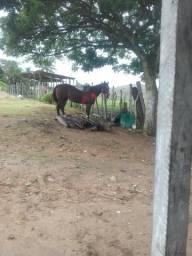 Cavalo quarto de milha (98858-5565)