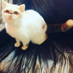 Gato persa macho adulto com pedigree