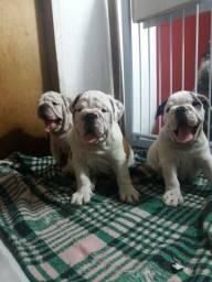 Bulldog ingles Imperdível