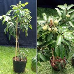 Frutíferas para vaso ou solo