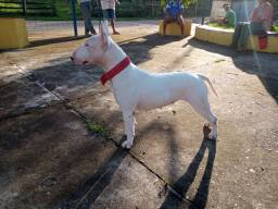 Bull terrier (reservas para final de janeiro)