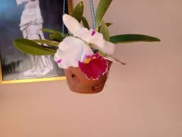Vendo vasos de orquídeas adultas