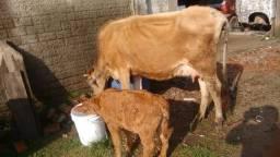 Vaca Jersey com terneira