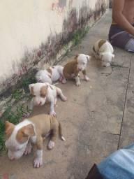 Filhotes de pit bul Américan terrier 600