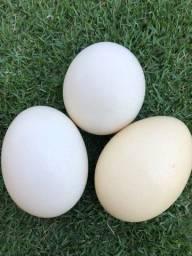 Cascas de ovos de avestruz